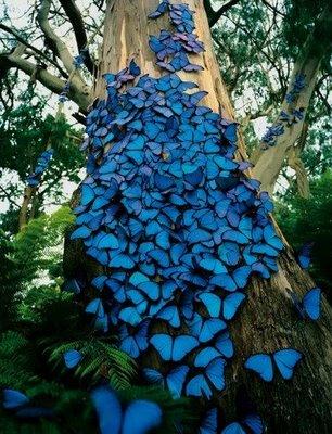 ,blue,butterflies,cluster,colores,naturaleza-5c94633c26c98559423d1567a80ad26f_h